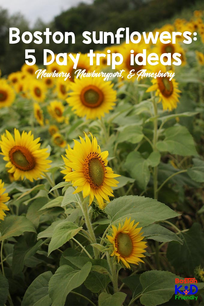 Take a day trip from Boston to the Newbury area to enjoy the sunflowers.