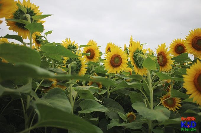 5 things to do when you visit the Newbury, MA sunflower field